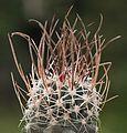 Sclerocactus blainei RP 136 e Panaca, Nv (7602679468).jpg