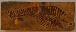 Sclerothorax hypselonotus.JPG