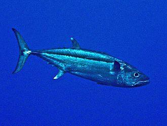 Dogtooth tuna - Gymnosarda unicolor from French Polynesia