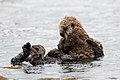 Sea Otter mother with older pup. (9139346084).jpg