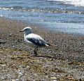 Seagull (4785047020).jpg