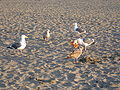Seagulls feeding on junk food at Ocean Beach 1.JPG