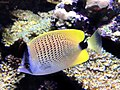 Seattle Aquarium 20161219 Milletseed butterflyfish 01.jpg