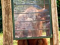Second orangutan using enrichment box.jpg