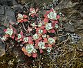 Sedum divergens on Duckabush River trail (1).jpg