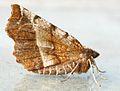 Selenia dentaria - male (2007-03-13) 02.jpg