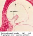 Semicircular canal - ampulla.png