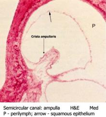 Cristaullaris WikipediaUtricle And Saccule Histology