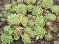 Sempervivum ciliosum0.jpg