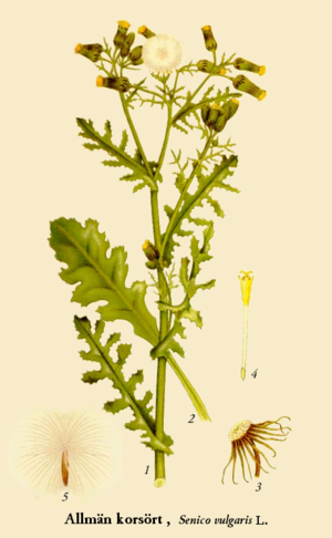 Senecio vulgaris - Wikipedia, the free encyclopedia