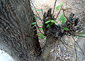 Senna siamea tree bark at Indira Gandhi Zoo Park.JPG