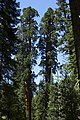 Sequoia 01.jpg