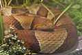Serpiente cabeza de cobre (Agkistrodon contortrix), Tierpark Hellabrunn, Múnich, Alemania, 2012-06-17, DD 01.JPG