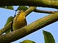 Setophaga fusca (Reinita americana) - Macho - Flickr - Alejandro Bayer.jpg