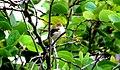 """Sewing Beauty - Tailor Bird """"Orthotomus sutorius"""".jpg"""
