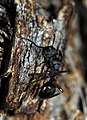 Shattuck N2-5660-1, Polyrhachis rufifemur, near Bungendore, NSW (3821219087) (2).jpg