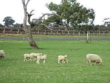 Sheep and vines.JPG