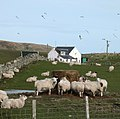 Sheep at Machrie Farm - geograph.org.uk - 755211.jpg