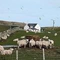 Sheep at Machrie Farm - geograph.org.uk - 755211.jpg