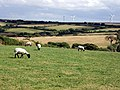 Sheep grazing near Callestick Vean - geograph.org.uk - 31782.jpg