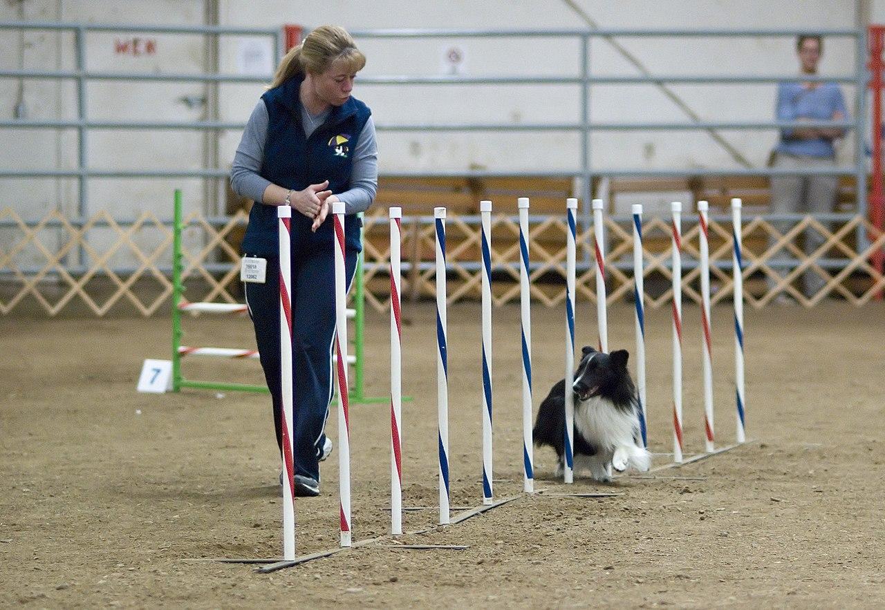 https://upload.wikimedia.org/wikipedia/commons/thumb/e/ec/Shetland_Sheepdog_black_agility.jpg/1280px-Shetland_Sheepdog_black_agility.jpg