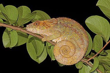 Short-horned chameleon (Calumma brevicorne) female