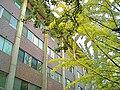 Shugakukan Hall and Gingko Trees 2.JPG