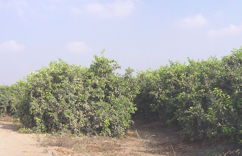 File:Shuva Lemon Grove.JPG