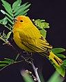 Sicalis flaveola (Canario coronado) - Flickr - Alejandro Bayer (8).jpg