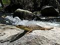 Sierra Alligator Lizard.jpg