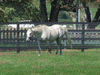 Silver Charm American-bred Thoroughbred racehorse