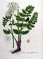 Sium angustifolium — Flora Batava — Volume v8.jpg