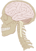 Skull and brain normal human.svg