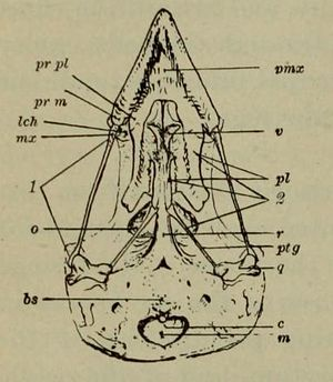 Passer predomesticus - Diagram of the skull of a house sparrow seen from below, with the premaxilla (marked pmx) at top