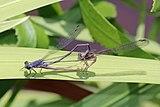 Slate sprites (Pseudagrion salisburyense) mating.jpg
