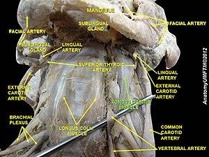 Longus capitis muscle - Image: Slide 6jjj