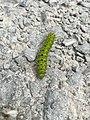 Small emperor moth caterpillar.jpg