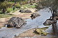 Small trees uprooted and caught downstream, Avon River, Toodyay.jpg