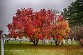 Smoke tree in Autumn.jpg