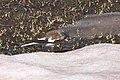 Snöfink-2912 - Flickr - Ragnhild & Neil Crawford.jpg
