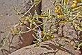 Solanaceae sp.-CTJ-IMG 6340.jpg