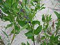 Solanum dulcamara.jpeg