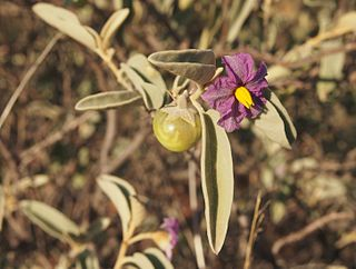 Bush tomato Solanum species native to Australia