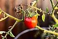 Solanum lycopersicum 1 2018-01-24.jpg