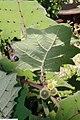 Solanum quitoense 14zz.jpg