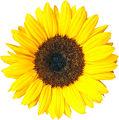 Sonnenblume 02 KMJ.jpg