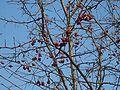 Sorbus alnifolia fruit.JPG