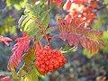 Sorbus aucuparia (5084662537).jpg