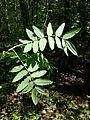 Sorbus domestica sl4.jpg