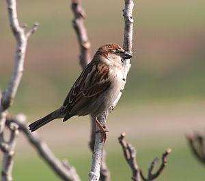 A sparrow in Malta. In Malta the resident spar...